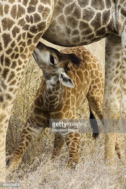 South Africa Kruger National Park Baby Giraffe Suckling