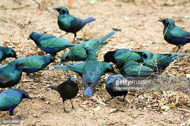 South Africa Kruger National Park Flock Of Glossy Starlings