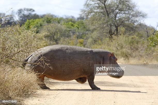 South Africa Kruger National Park Hippopotamus Crossing Road Hippos Usually Stay By Water