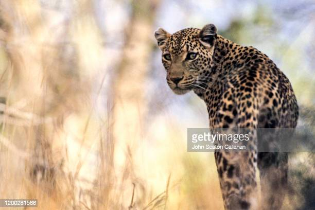 south africa, leopard - mpumalanga province stock pictures, royalty-free photos & images