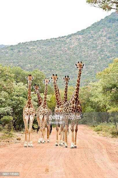 south africa, limpopo, marakele national park, group of giraffes standing in road - south africa stock pictures, royalty-free photos & images