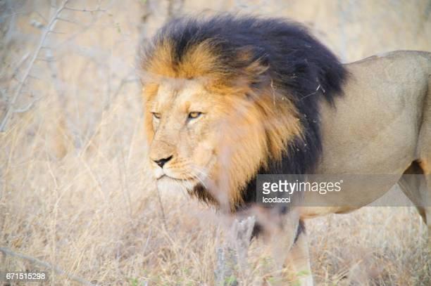 South Africa lion closeup