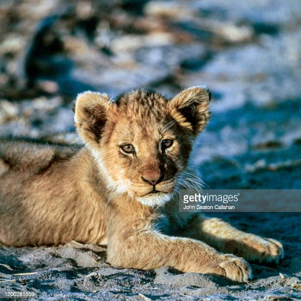 south africa, lion cub - mpumalanga province stock pictures, royalty-free photos & images