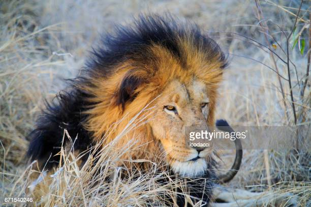 South Africa lion lying on savannah