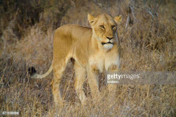 Leona de África del sur en la sabana