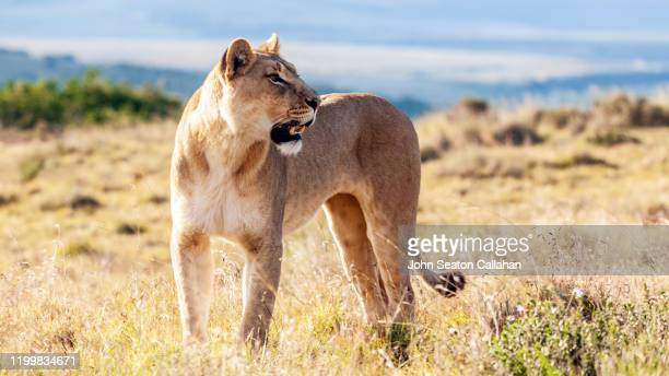 south africa, lioness - hunting stock pictures, royalty-free photos & images