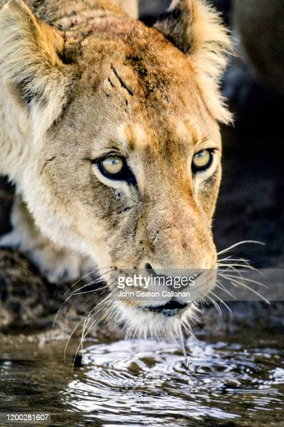 south africa, lioness - mpumalanga province stock pictures, royalty-free photos & images