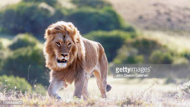 south africa, male lion, with mane - south africa stock pictures, royalty-free photos & images