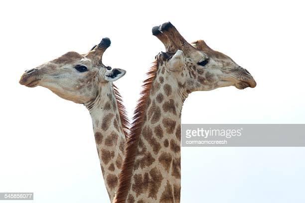 South Africa, Mpumalanga, Ehlanzeni, Bushbuckridge, Kruger National Park, Cropped shot of two giraffes against sky