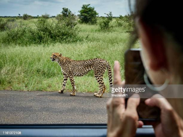 south africa, mpumalanga, kruger national park, woman taking cell phone picture of cheetah out of a car - animale da safari foto e immagini stock