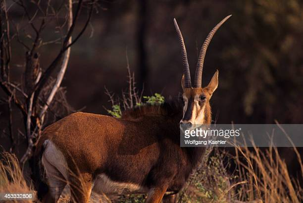 South Africa Near Johannesburg Pilanesberg National Park Sable Antelope