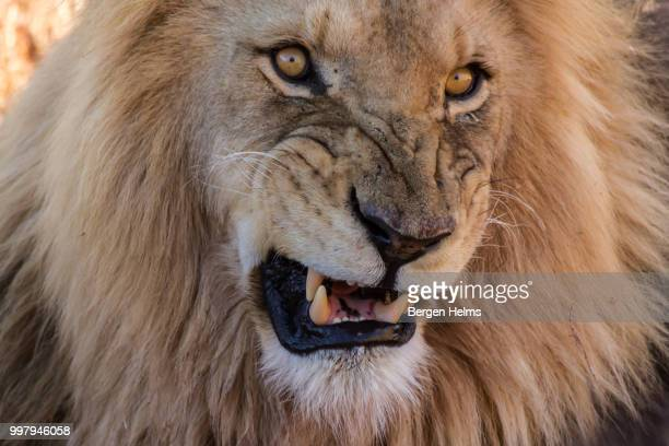 South Africa - Snarling Lion