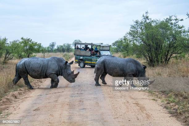 south africa: southern white rhinoceros - kruger national park stock pictures, royalty-free photos & images