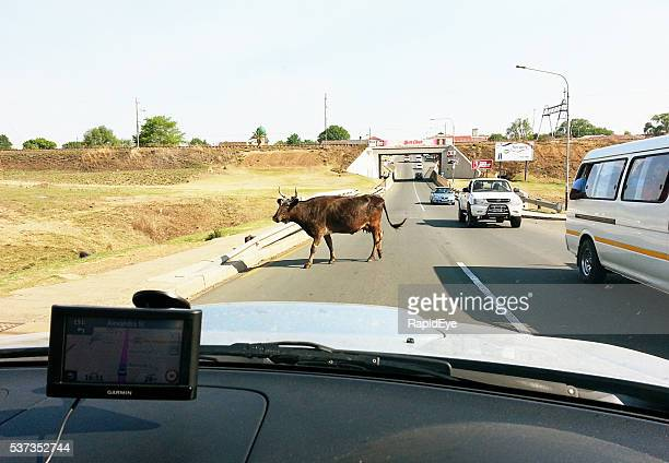 South Africa, straying cow, road, cars, remote, Mpumalanga, Amersfoort,