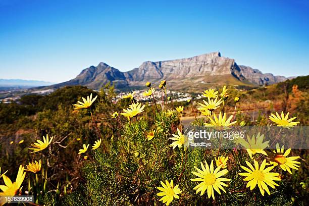 south africa: table mountain with wild daisies in foreground - table mountain stock pictures, royalty-free photos & images