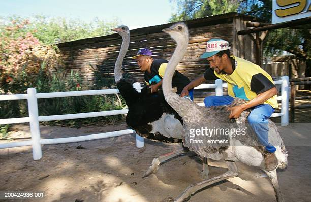 South Africa, tourists at ostrich farm having race