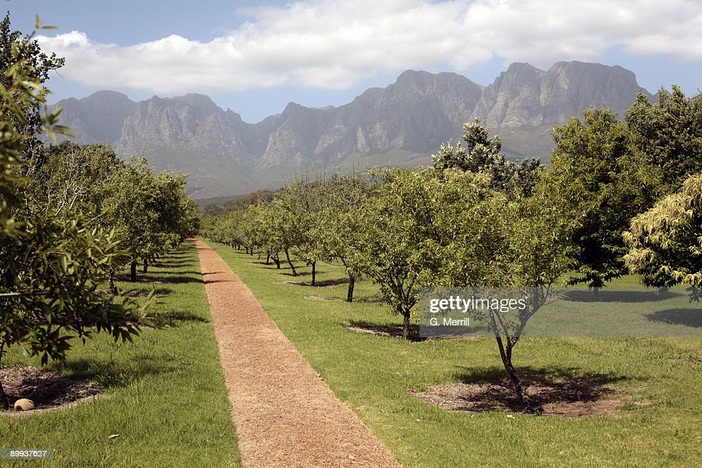 South Africa vineyard and mountains : Stock Photo