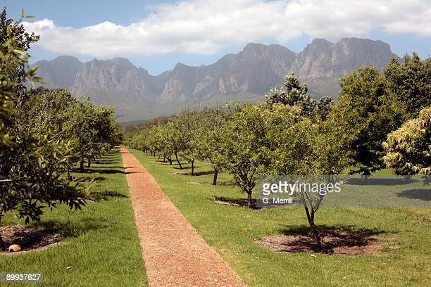 south africa vineyard and mountains - western cape province stock pictures, royalty-free photos & images