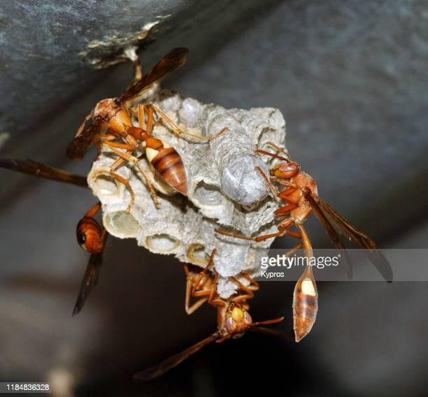 south africa - wasp nest - probably a paper wasps - african wasp stock pictures, royalty-free photos & images