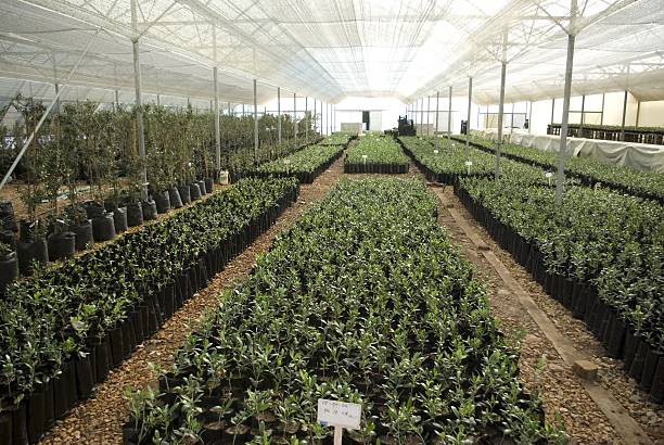 South Africa Morgenster Estate Now Olive Nursery