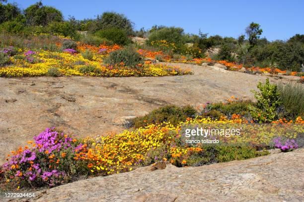 south africa wildflowers - ナマクワランド ストックフォトと画像