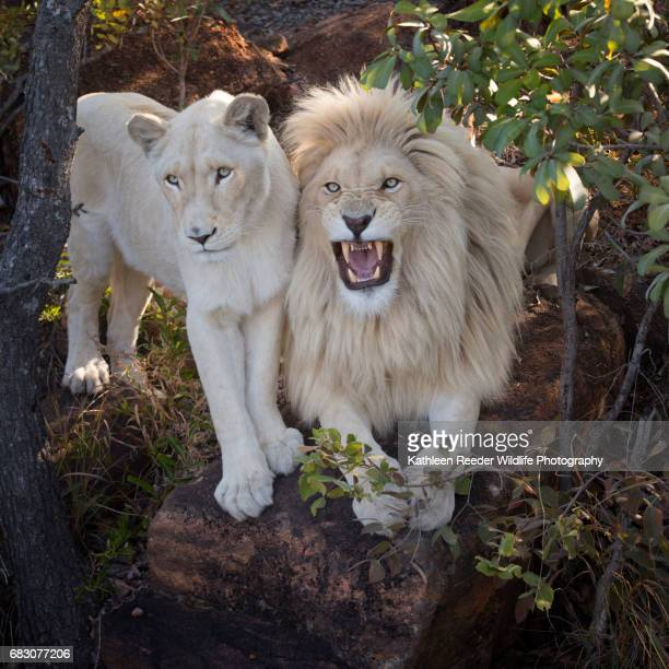south africa wildlife - white lion stock photos and pictures