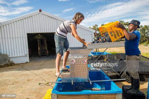 South Africa Wine makers mashing wine grapes