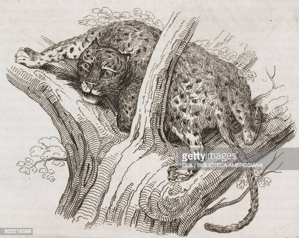 South African cheetah engraving from L'album giornale letterario e di belle arti Saturday March 28 Year 2