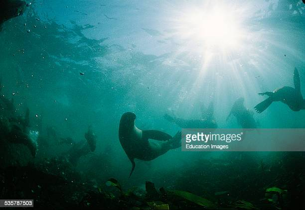 South African fur seal Arctocephalus pusillus in the swell and surf six nautical miles from the coast of Gansbaai are two small islands Iceland Dyer...