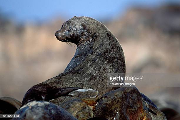 South African fur seal Arctocephalus pusillus on Two small islands Dyer Island and geyser rock is six nautical miles from the coast at Gansbaai A...