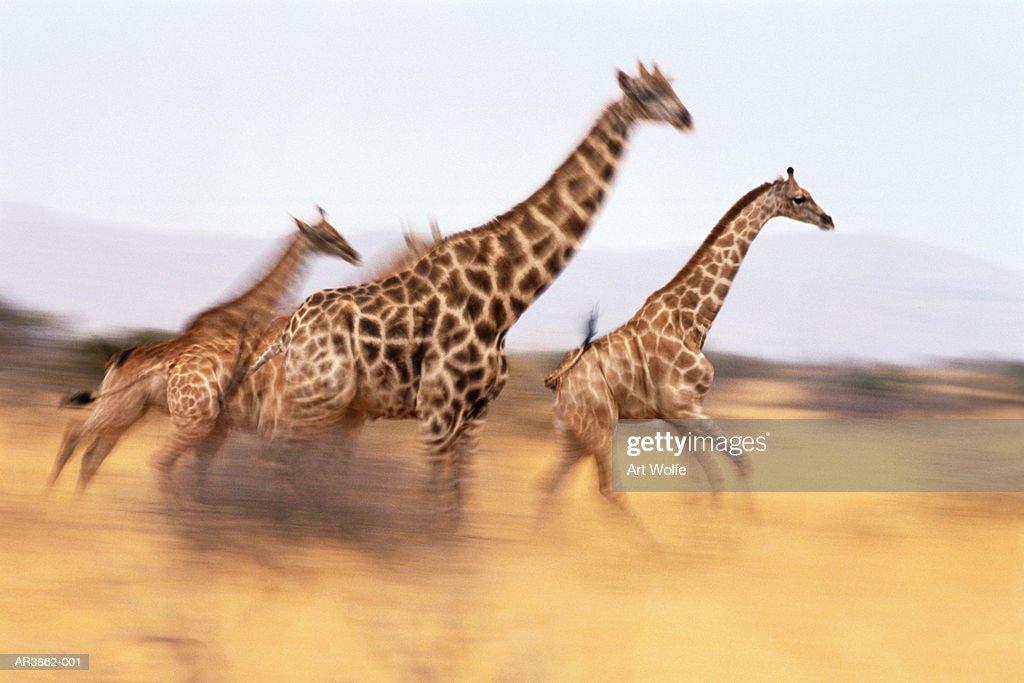 South African giraffes (Giraffa camelopardalis giraffa) running : Stock Photo
