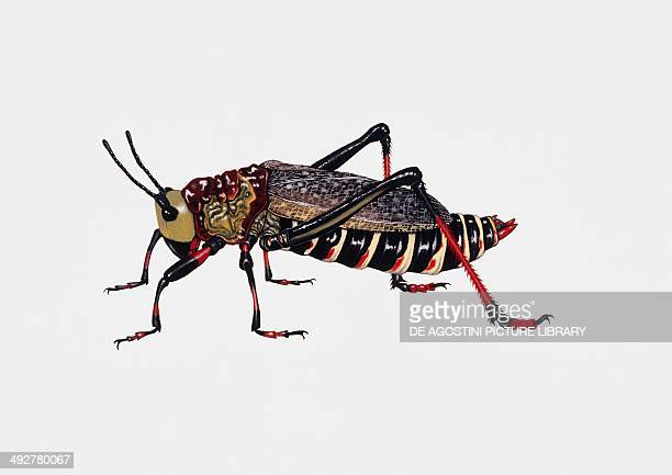 South African grasshopper Artwork by Rebecca Hardy