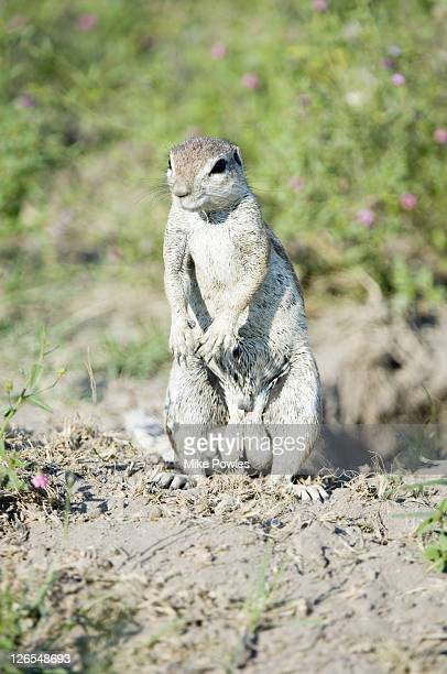 south african ground squirrel, goesciurus inauris, male in breeding condition, large testicles, central kalahari game reserve, botswana - escroto fotografías e imágenes de stock