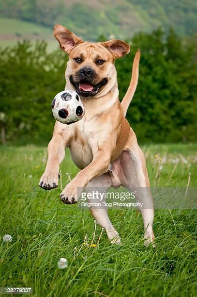 South African Mastiff dog plays ball