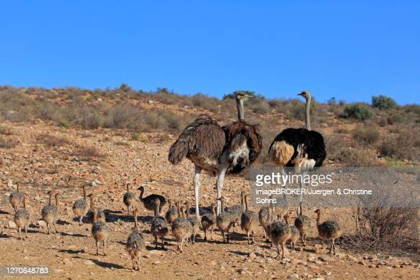 south african ostrich (struthio camelus australis), adult, female, male, pair, young, family, group, alert, foraging, oudtshoorn, western cape, south africa - western cape province stock pictures, royalty-free photos & images