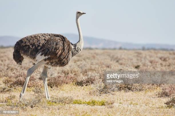 south african ostrich, struthio camelus australis, walking through grassland. - avestruz fotografías e imágenes de stock