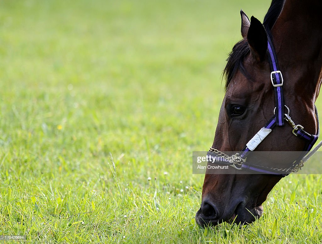 South African trained Shea Shea takes a pick of grass on June 13, 2013 in Newmarket, England.