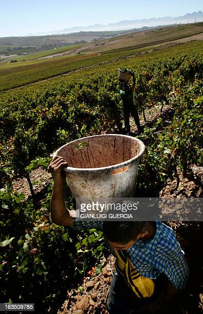 A South African worker from Maastricht farm on the Durbanville hills a few kms outside Cape Town carries 23 March 2006 an empty bucket during the...