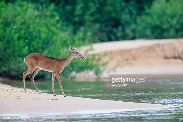 south america, brasilia, mato grosso do sul, pantanal, cuiaba river, marsh deer, blastocerus dichotomus - mato grosso state stock pictures, royalty-free photos & images