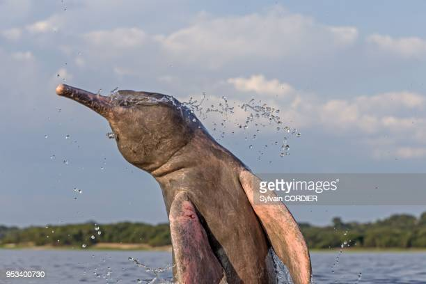 South America, Brazil, Amazonas state, Manaus, Amazon river basin, along Rio Negro, Amazon River Dolphin, Pink River Dolphin or Boto , wild animal in...