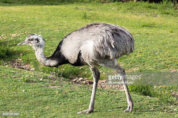 south american bipedal mammal called ñandu (ostrich). - zone d'exclusion aérienne photos et images de collection