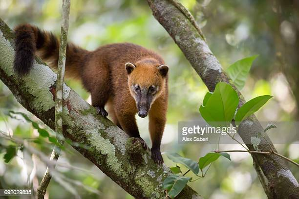 a south american coati, nasua nasua, rests on a tree branch in the atlantic rainforest. - alex saberi photos et images de collection