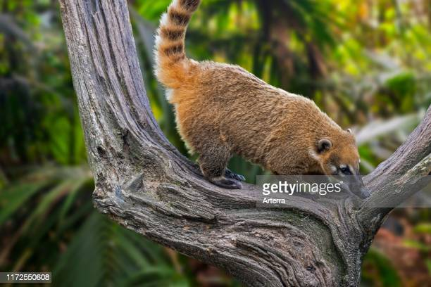 South American coati / ringtailed coati in tree native to forests of tropical and subtropical South America