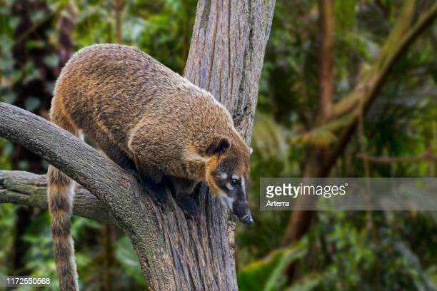 South American coati / ringtailed coati looking down from tree native to forests of tropical and subtropical South America