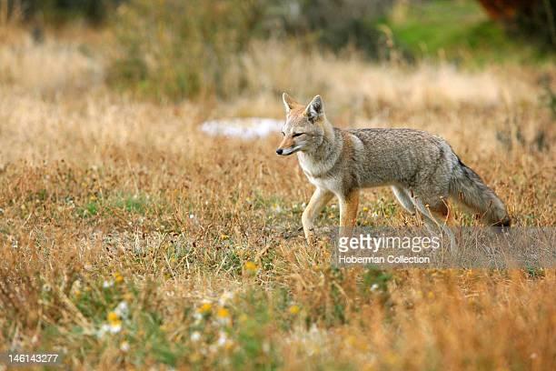 South American Fox Culpeo Chile