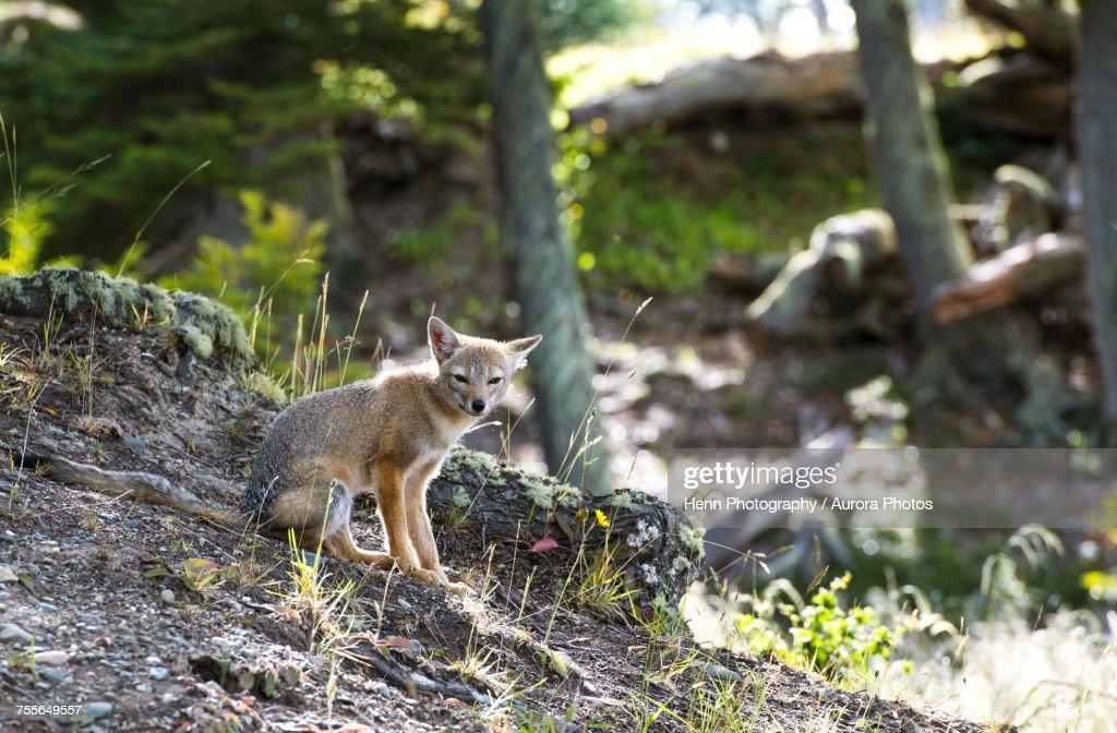 South American gray fox (Lycalopex griseus) in Ushuaia, Tierra del Fuego Province, Argentina : Stock Photo