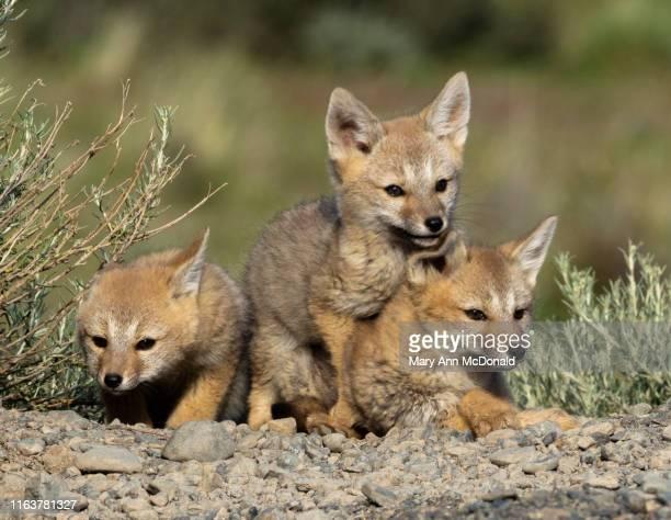south american gray fox - mary fox stock-fotos und bilder