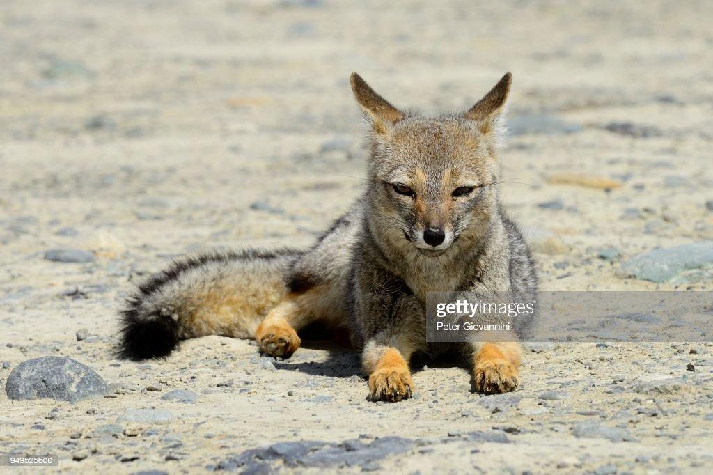 South American gray fox (Lycalopex griseus), resting, near El Chalten, Province of Santa Cruz, Patagonia, Argentina : Stock Photo