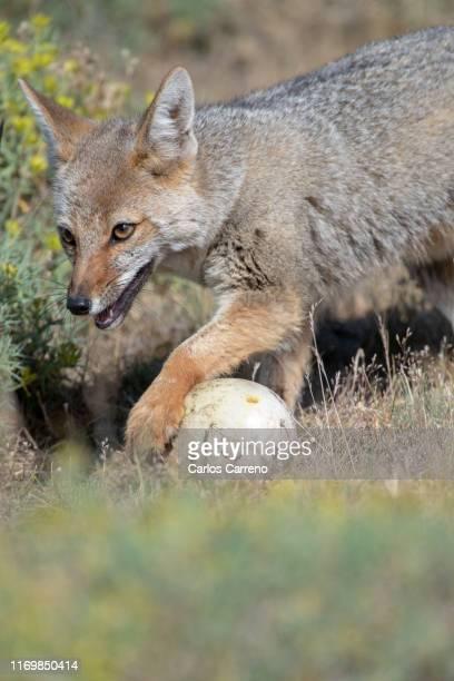 south american gray fox with emu egg - gray fox stockfoto's en -beelden