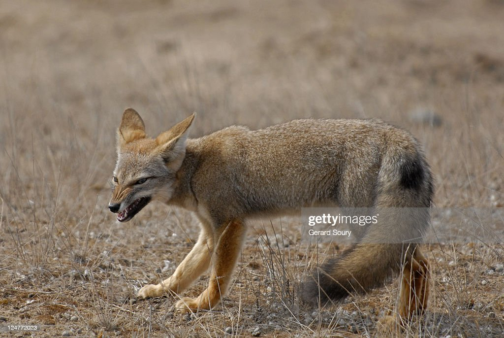 South American grey fox (Pseudalopex griseus) snarling, Patagonia, Argentina : Stock Photo